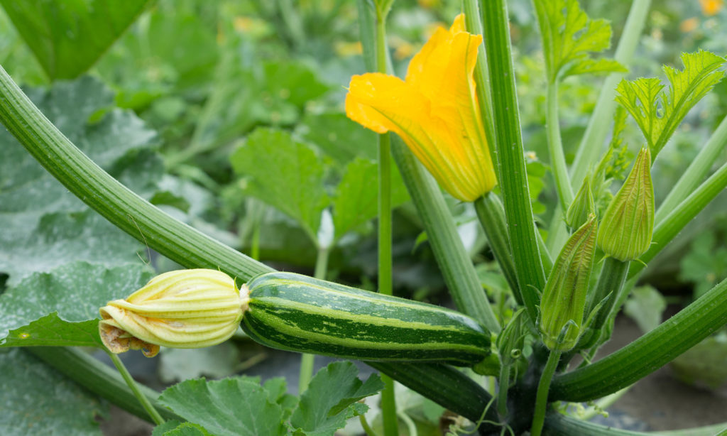 Bio-Zucchini im Feld