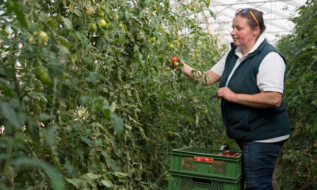 Bio-Tomaten im Gewächshaus